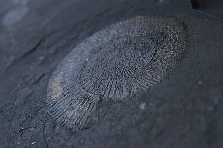 Schiefernplatte mit Ammonit