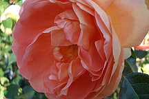 Rosa Rote