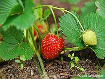 Erdbeerpflanze mit Frucht