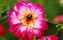 Blume, Blüte, Pink
