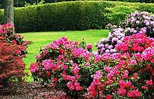 Pink blühender Rhododendron