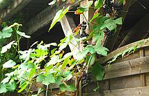 Weintrauben ranken am Holzzaun