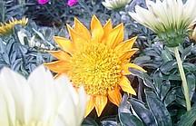 Orangene Mittagsblume in der Blüte
