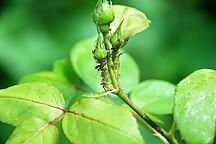 Grüne Rosenknospe mit Schädlingen befallen