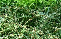 Gründeckende Zwergmispel mit roten Beeren