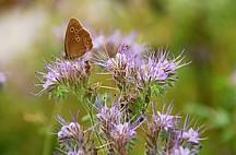 Diestelblüte mit Schmetterling
