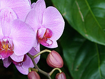 Orchideen Rosa