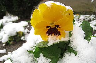 Stiefmütterchen im Schnee