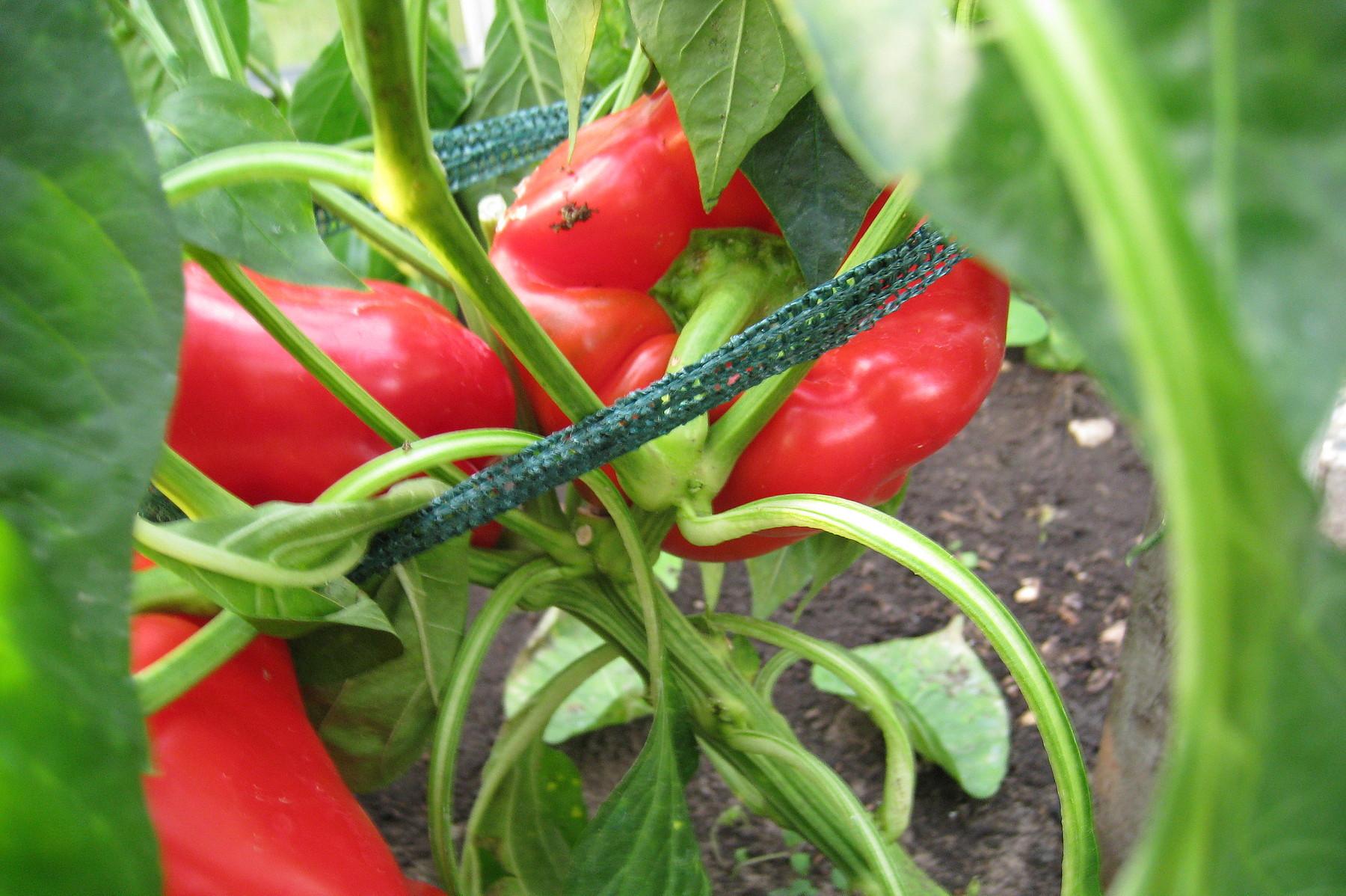 Gartentipp Nutzpflanzen